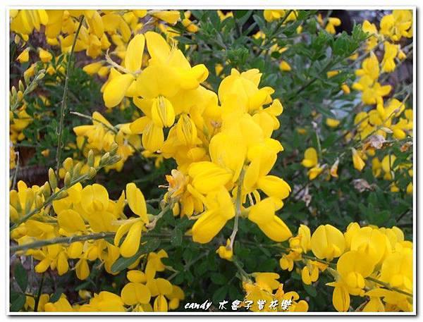 (豆科)金雀花