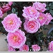 (薔薇科)玫瑰花