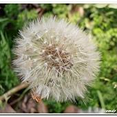 (菊科)西洋蒲公英種子