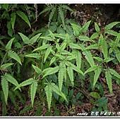 (裏白科)蔓芒萁,其葉子有如蝴蝶形狀。葉片呈多回假二叉分枝。分枝不等長。