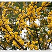 (豆科)相思樹的花