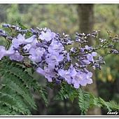 (紫葳科)藍花楹