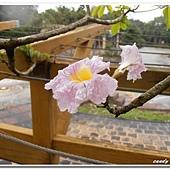 (紫葳科)粉紅風鈴木