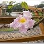 粉紅風鈴木
