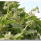 (紫草科)白水木