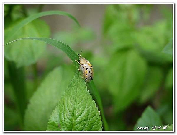 18-大黑星龜金花蟲