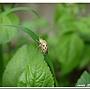 大黑星龜金花蟲