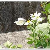 (粉蝶科)紋白蝶