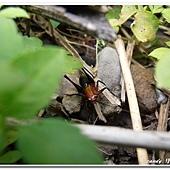 (螽蟴科)黑翅細蟴若蟲