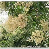 (木犀科)光臘樹的花