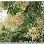光臘樹的花
