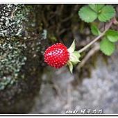 (薔薇科)蛇苺果實