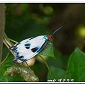 (斑蛾科)綠脈白斑蛾