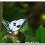 綠脈白斑蛾