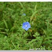 (旋花科)藍星花