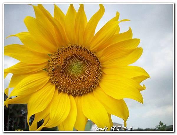 (菊科)太陽花