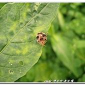 (瓢蟲科)食植瓢蟲