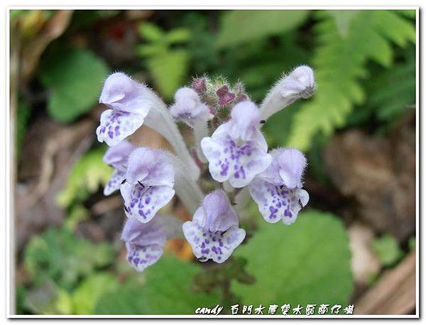 (唇形科)耳挖草-印度黃芩