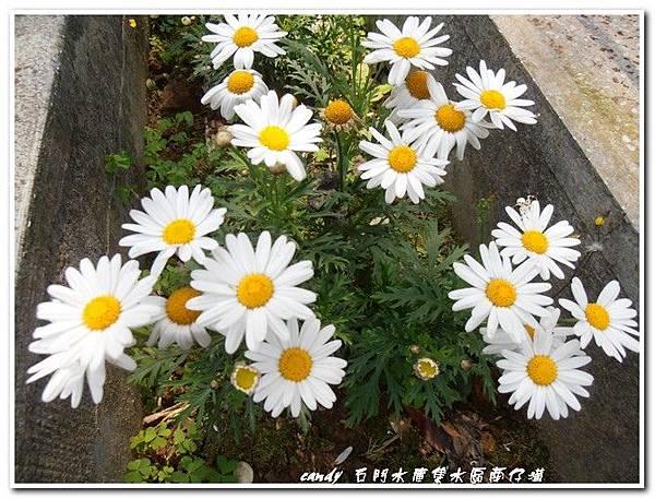 7-木春菊