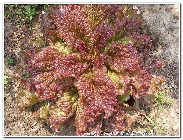 35-皺葉萵苣