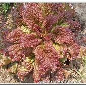 (菊科)皺葉萵苣