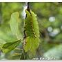 紅透目天蠶蛾的幼蟲