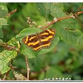(蛺蝶科)寬紋黃三線蝶