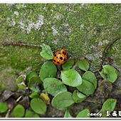 (瓢蟲科)十三星盤瓢蟲