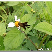 (弄蝶科)台灣單帶弄蝶