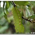 (天蠶蛾科)紅目天蠶蛾的幼蟲