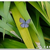 (蛺蝶科)埔里波紋小灰蝶
