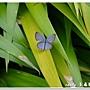 埔里波紋小灰蝶