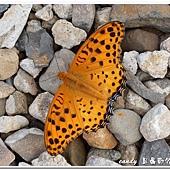 (蛺蝶科)豹斑蝶
