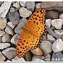 黑端豹斑蝶