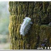 (刺蛾科)褐邊綠刺娥