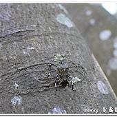 (椿象科)黃斑椿象