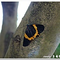 (尺蛾科)橙帶藍尺蛾