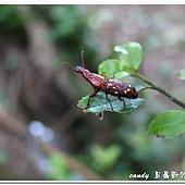 (三錐象鼻蟲科)黃紋三錐象鼻蟲