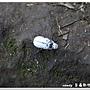 白金龜(雄)