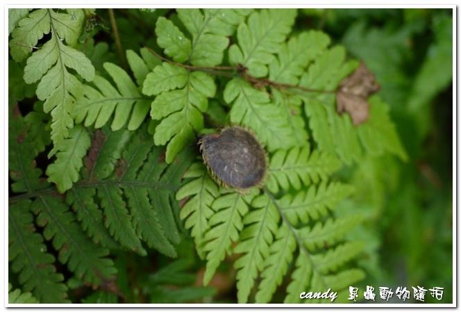 台灣盾蝸牛