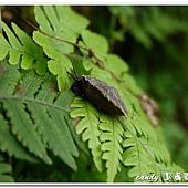 (扁蝸牛科)台灣盾蝸牛