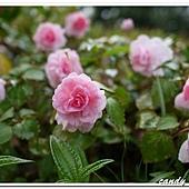 (鳳仙花科)玫瑰非洲鳳仙花
