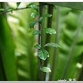 (紫草科)小葉厚殼樹(福建茶)