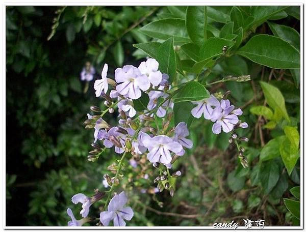 (馬鞭草科)金露花