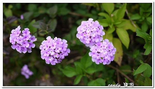 (馬鞭草科)蔓性紫花馬櫻丹