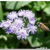 (菊科)紫花藿香薊