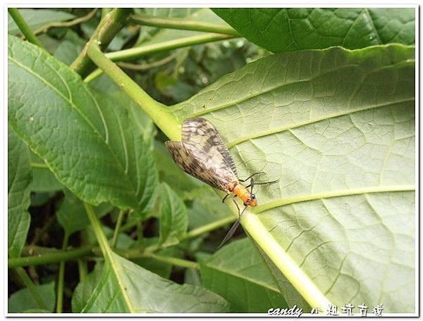 10-台灣斑魚蛉