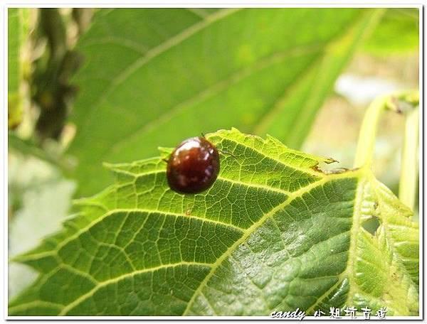 8-褐象龜葉蚤