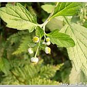 (菊科)茯苓菜