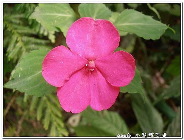 (鳳仙花科)非洲鳳仙花